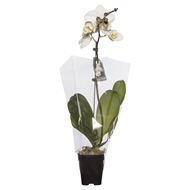 105mm Large Single White Moth Orchid Box Of 11 - Phalaeonopsis