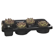 130mm Mixed Succulents - Tray Of 4