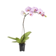105mm Large Single Moth Orchid - Phalaenopsis