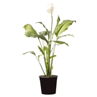 250mm Sensation Peace Lily - Spathiphyllum wallisii