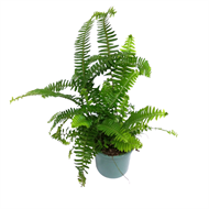 130mm Sword Fern - Nephrolepis obliterata