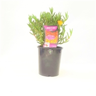 Grow It Easy 140mm Pig Face - Mesembryanthemum Gold
