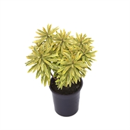 140mm Ascot Rainbow Spurge - Euphorbia Ascot Rainbow