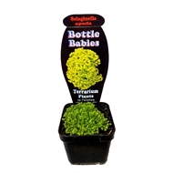 70mm Terrarium Plants Bottle Babies - Various