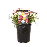 140mm Regal Passions Range -  Argyranthemum frutescens