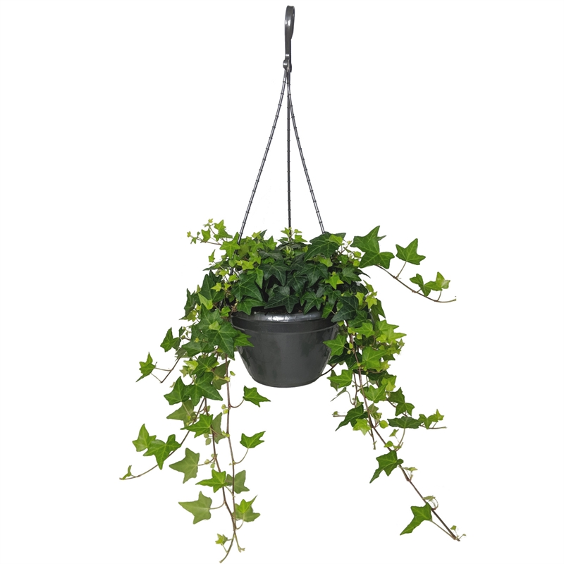 Picture of Live Ivy green aka Hedera helix Hanging Foliage Plant Fit 1QRT Pot