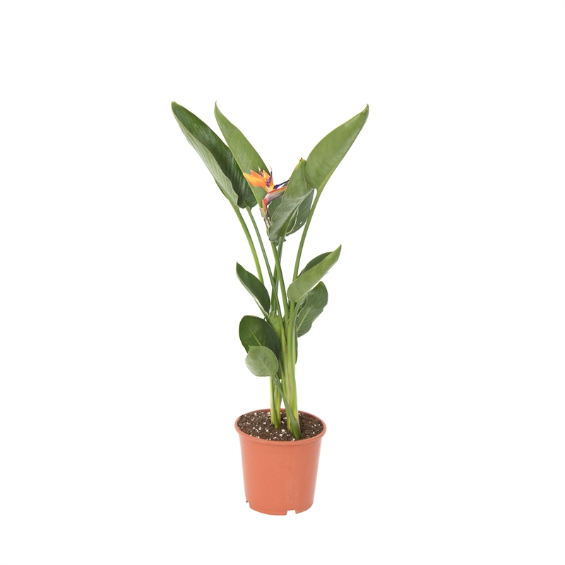 190mm Bird Of Paradise Strelitzia Reginae Bunnings Warehouse