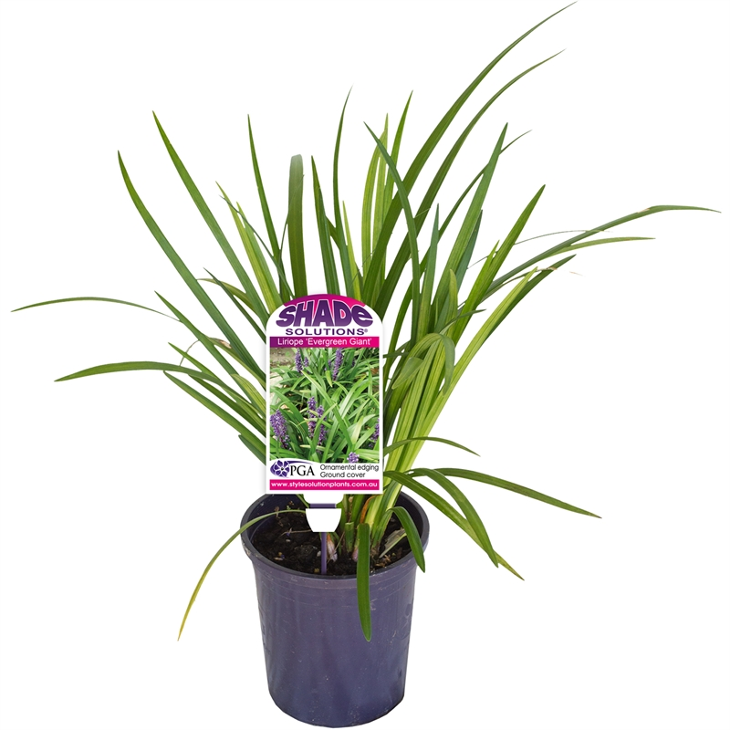 140mm Liriope Evergreen Giant Liriope Muscari Bunnings Warehouse