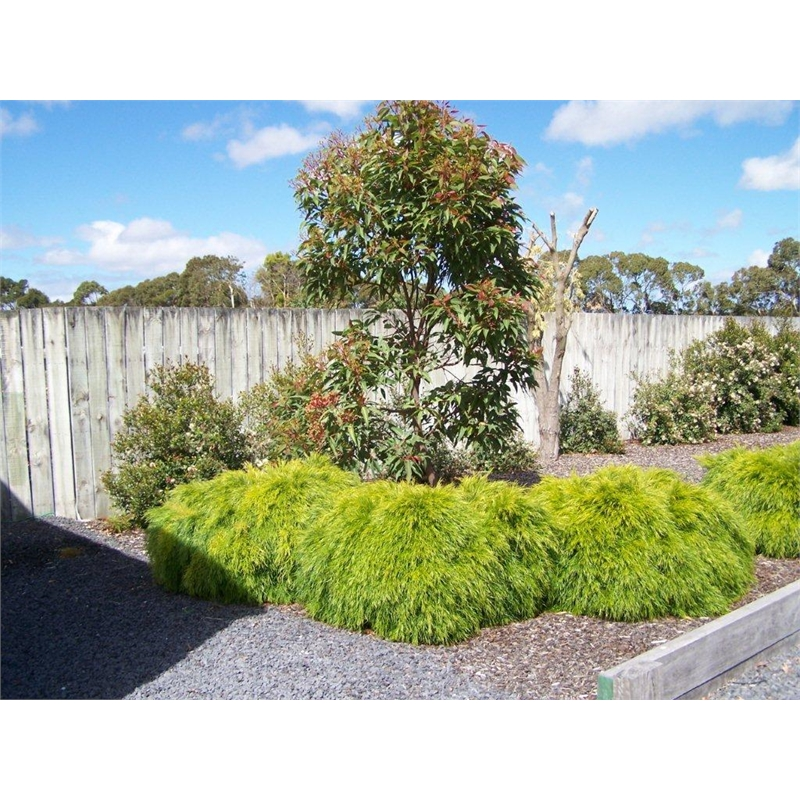 140mm Acacia Bower Beauty Acacia Cognata Bunnings Warehouse