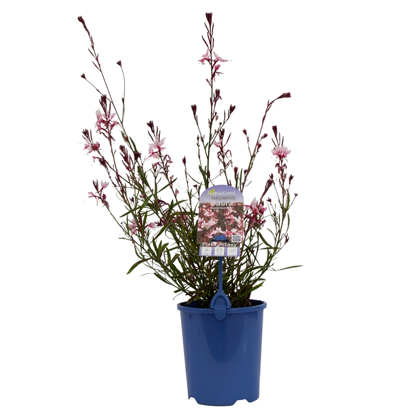 140mm Pink Fantasy Butterfly Bush Gaura Lindheimeri Bunnings