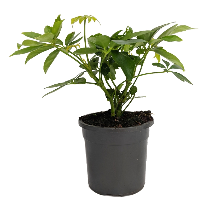 130mm Dwarf Umbrella Tree Schefflera Arboricola