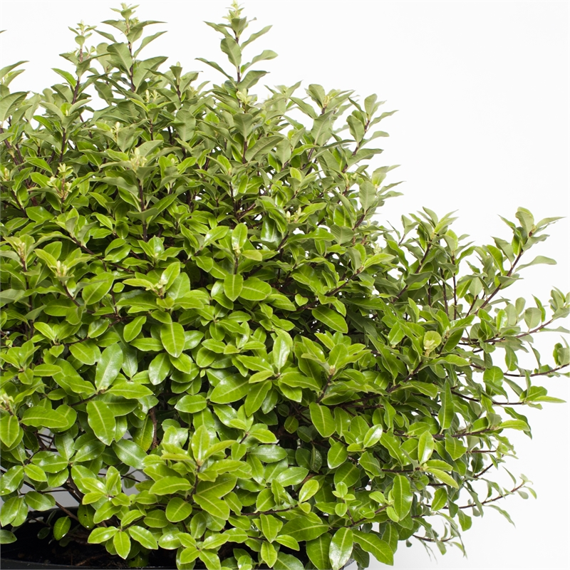 270mm Pittosporum Golf Ball Tenuifolium