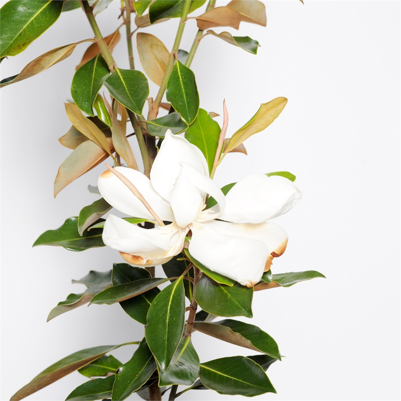 270mm Magnolia Little Gem Magnolia Grandiflora Bunnings Warehouse