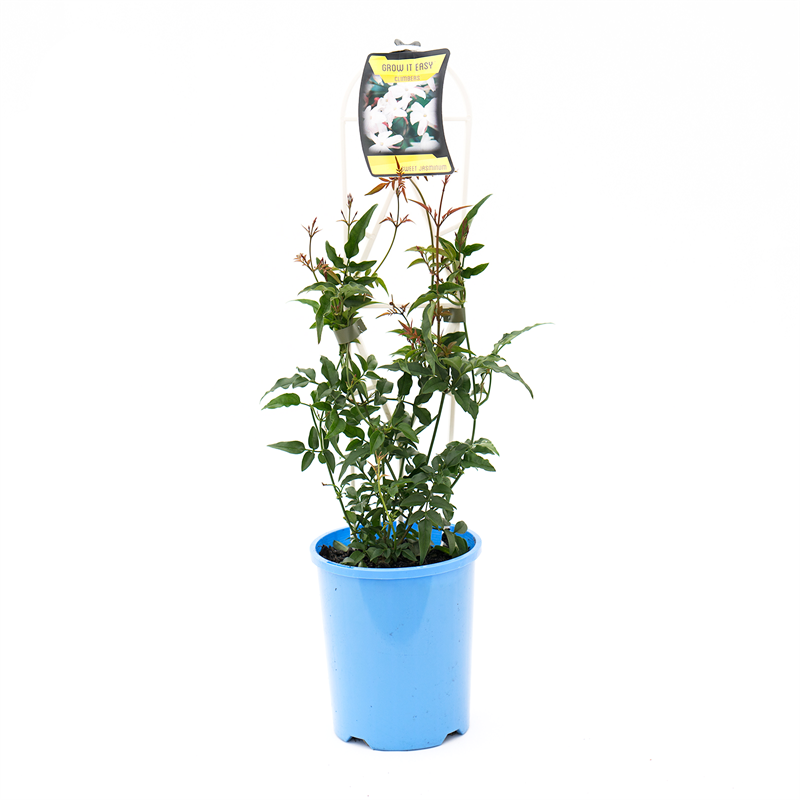 140mm Sweet or Winter Jasmine - Jasminum polyanthum | Tuggl