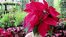 About the Poinsettia Plant